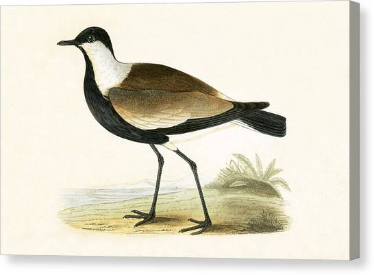 Lapwing Canvas Print - Spur Winged Plover by English School
