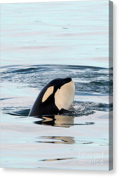 Orcas Canvas Print - Spy Hop Reflected by Mike Dawson