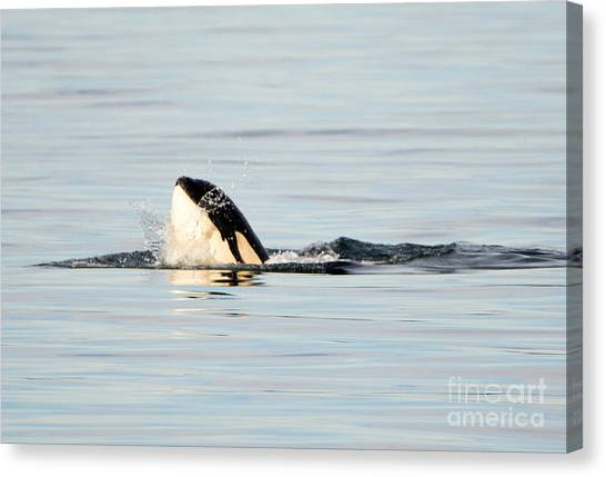 Orcas Canvas Print - Spy Hop Splash by Mike Dawson