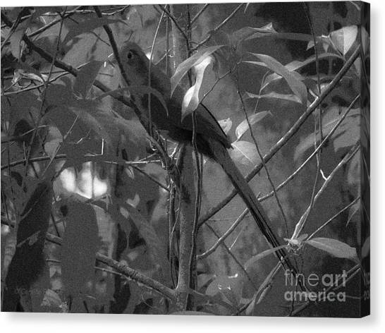 Squirrel Cuckoo  Canvas Print