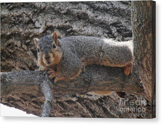 Canvas Print - Squirrel Laying On A Branch Resting by Lori Tordsen
