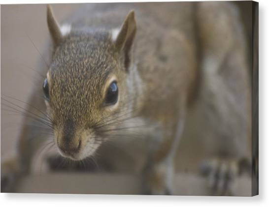 Squirrel On The Hunt Canvas Print by Anthony Towers