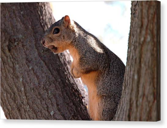 Squirrel With A Nut Canvas Print by Teresa Blanton