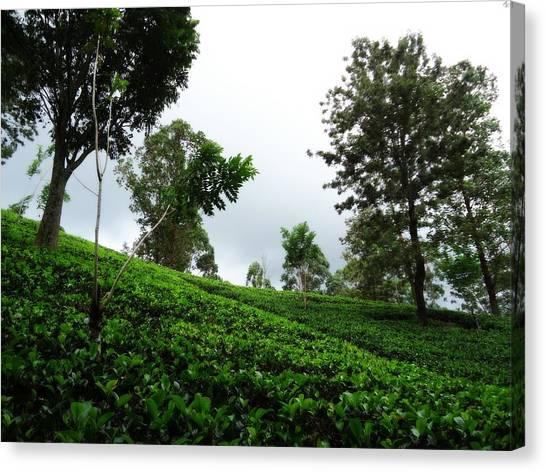 Tea Leaves Canvas Print - Sri Lankn Tea Plantation  by Pasindu Lakruwan
