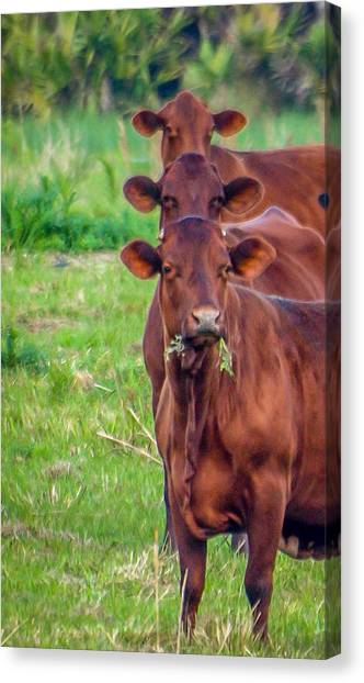 Canvas Print featuring the photograph Stacked Up Cows          by Tom Claud