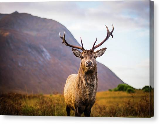 Stag Canvas Print - Stag  by Mark Mc neill