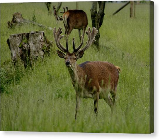 Stag Of The Herd. Canvas Print