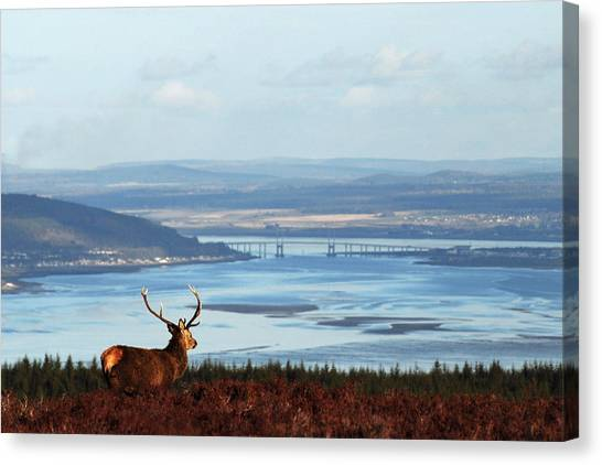 Stag Overlooking The Beauly Firth And Inverness Canvas Print