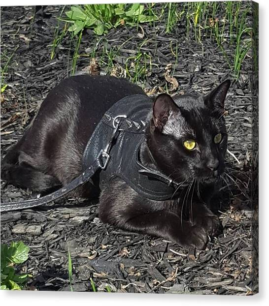 Panthers Canvas Print - Stalking A Bird After Our Walk To The by Sirius Black Adventure Cat