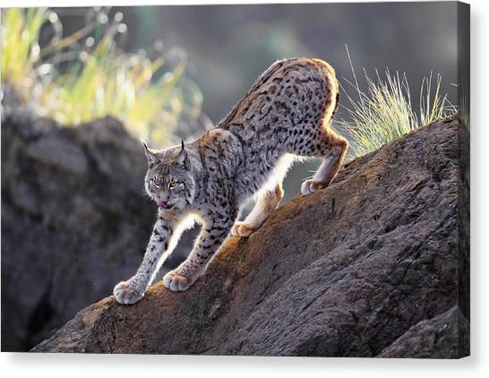 Lynx Canvas Print - Stalking At Sunset by Gianfranco Barbieri