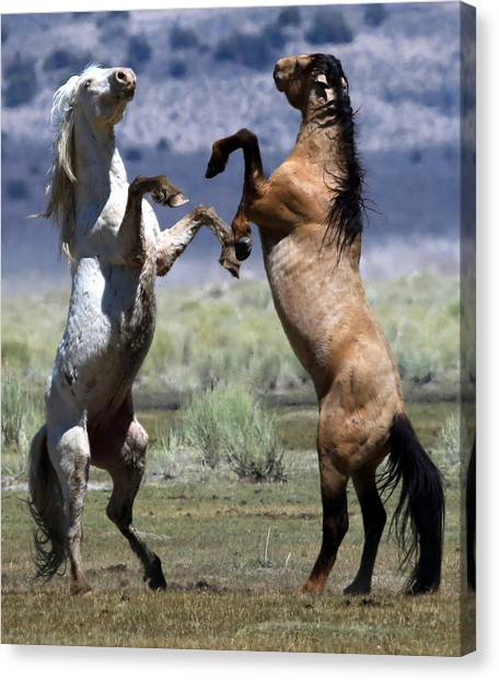 Stallion Fandango Canvas Print
