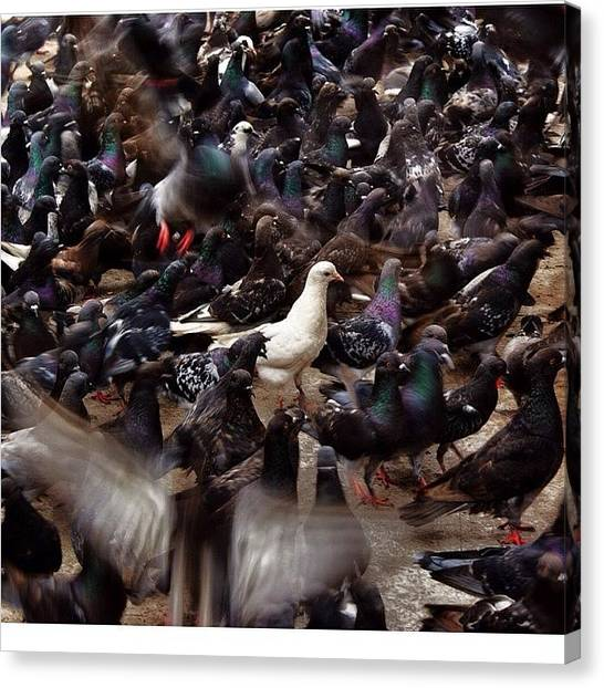 Dove Canvas Print - Stand Out From The Crowd #pigeons by Saad Naqvi