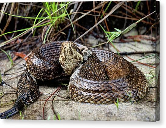 Cottonmouths Canvas Print - Stand Your Ground by JC Findley