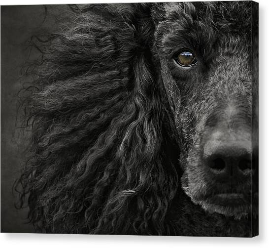 Poodles Canvas Print - Standard Poodle Portrait by Wolf Shadow Photography