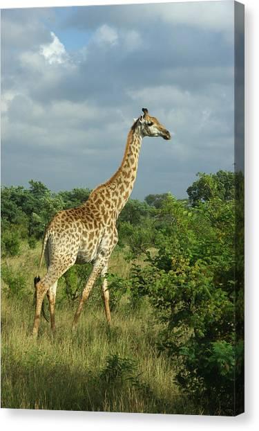 Standing Alone - Giraffe Canvas Print