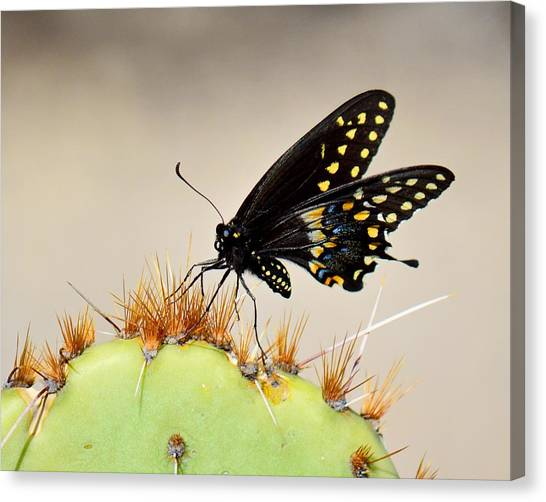 Standing On Spines - Black Swallowtail Canvas Print