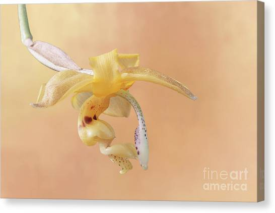 Stanhopea Orchid V2 Canvas Print