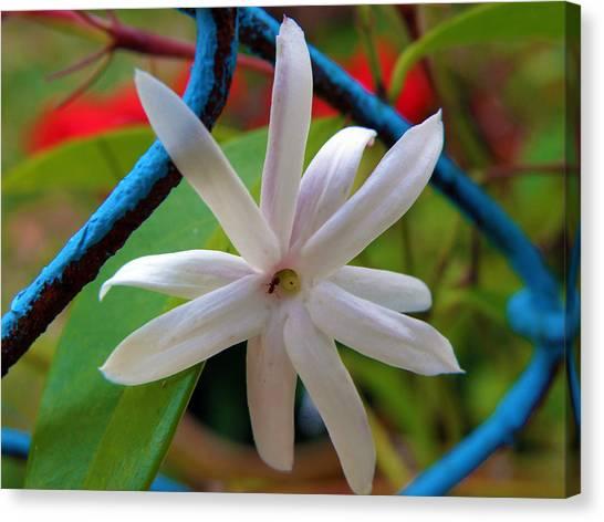 Star Jasmine Flower Canvas Print