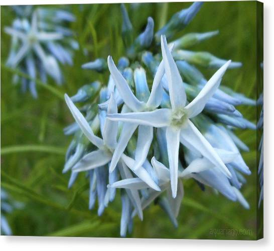 Star-spangled Flowers Canvas Print