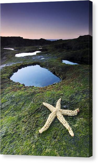 Starfish Canvas Print by Andre Goncalves