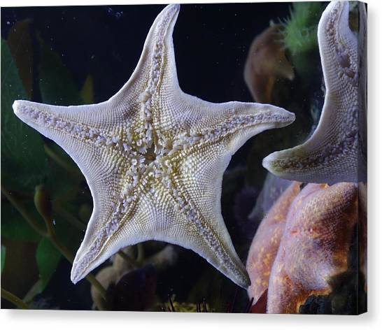 Ocean Life Canvas Print - Starfish Belly by Tarasa Harlow