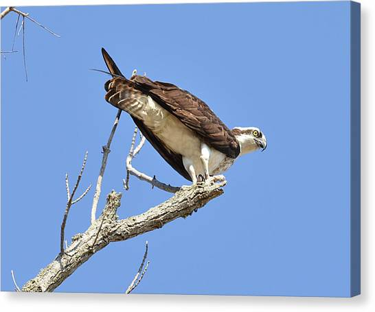 Osprey Bird Canvas Prints (Page #40 of 100) | Fine Art America