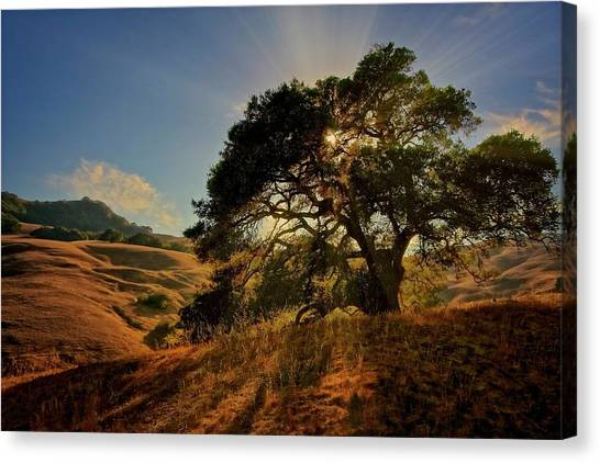 Starlight, California Oak Canvas Print