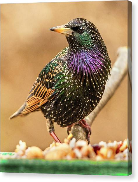 Starling In Glorious Color Canvas Print