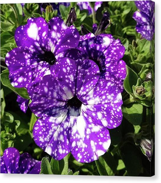 Magicians Canvas Print - Starry Petunias... by Rowena Tutty