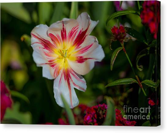 Starry Tulip Canvas Print