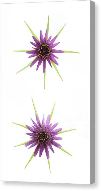 Stars Of Salsify Canvas Print