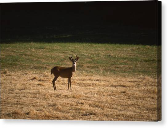 Honeydews Canvas Print - Stately Pose - Mule Deer by Soli Deo Gloria Wilderness And Wildlife Photography