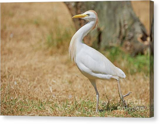 Canvas Print featuring the photograph Stately Walking Cattle Egret by Nick Biemans