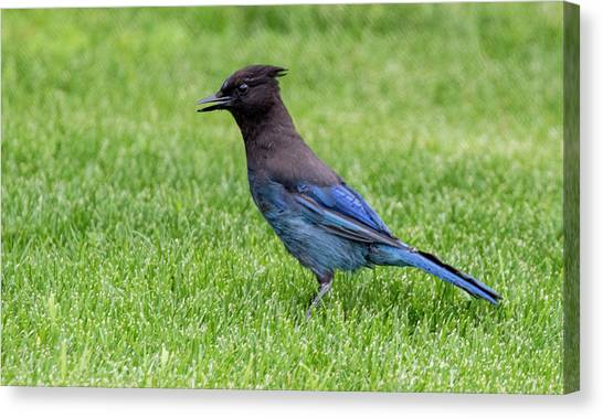 Steller's Jay On The Lawn Canvas Print