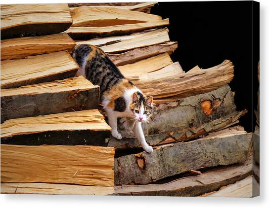 Stepping Down - Calico Cat On Beech Woodpile Canvas Print by Menega Sabidussi
