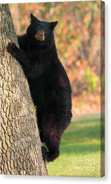 Black Bears Canvas Print - Stepping Down by Mike Dawson