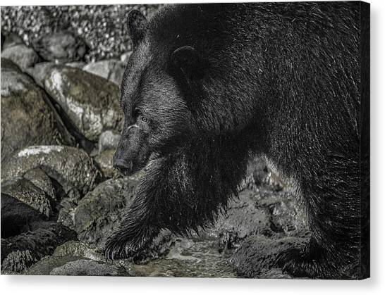 Stepping Into The Creek Black Bear Canvas Print