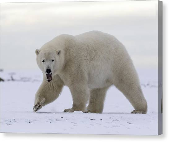 Stepping Out In The Arctic Canvas Print