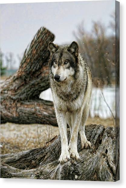 Still Wolf Canvas Print