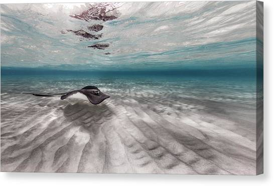 Stingray Across The Sand Canvas Print