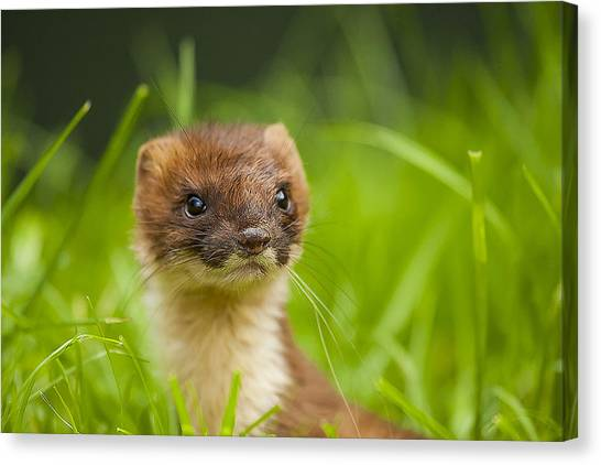 Carnivore Canvas Print - Stoat Portrait by Paul Neville