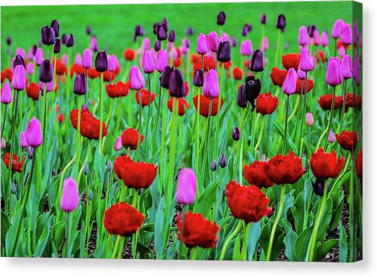 University Of Connecticut Canvas Print - Stoic Tulips by Dirk Fecho