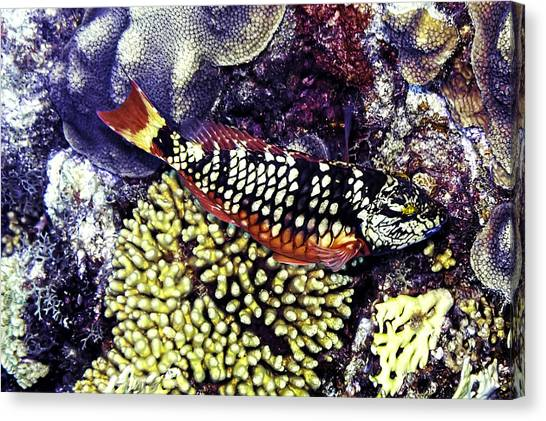 Canvas Print featuring the photograph Stoplight Parrotfish Initial Phase by Perla Copernik