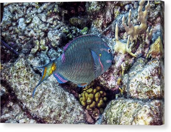 Canvas Print featuring the photograph Stoplight Parrotfish Terminal Phase by Perla Copernik