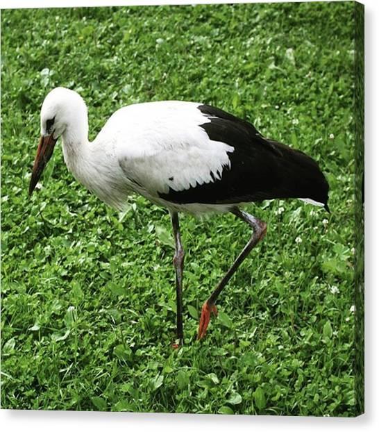 Storks Canvas Print - #stork #nature#wildlife#animals #birds by Olga Strogonova