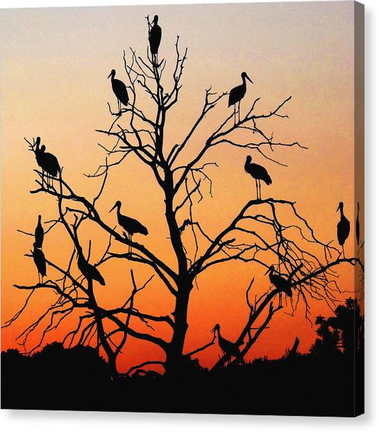 Storks In The Evening Sun Light Canvas Print