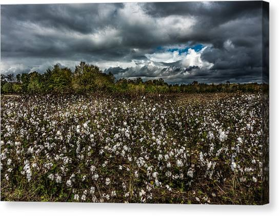 Stormy Cotton Field Canvas Print