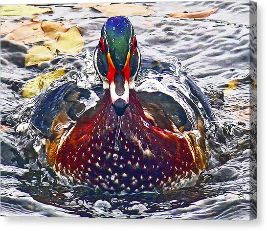 Straight Ahead Wood Duck Canvas Print