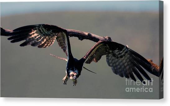 Osprey Canvas Print - Straight At You by Mike Dawson