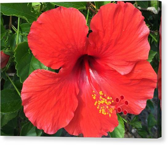 Red Hibiscus Flower Canvas Prints Page 79 Of 81 Fine Art America